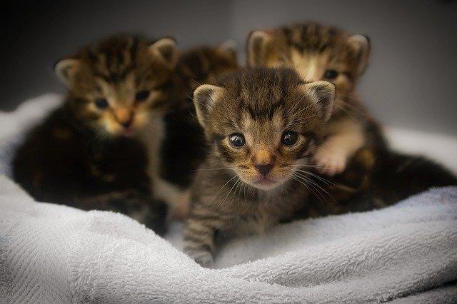 mourovatá koťátka