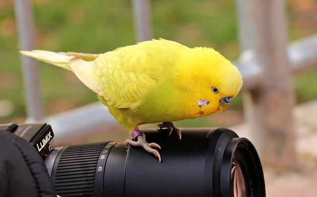 žlutá andulka