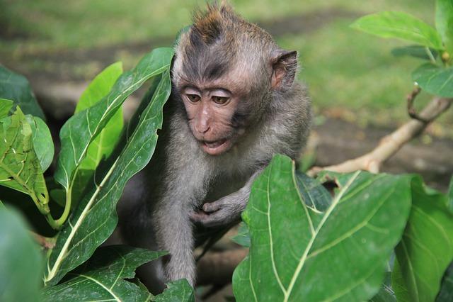 malá opička