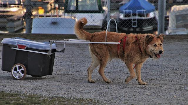 pes táhne vozíček