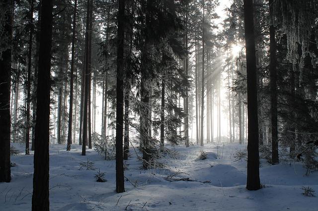 jehličnany, les v zimě.jpg